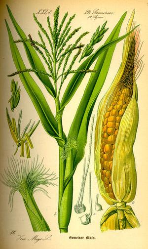 Corn_stover